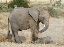 Elefante y hermano del bebé en el baño de los dustmammals foto de archivo