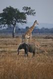 Elefante y jirafa Fotos de archivo