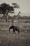 Elefante y jirafa Fotografía de archivo