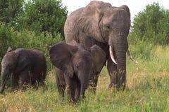Elefante y un elefante del bebé Tarangire, Tanzania Fotografía de archivo libre de regalías