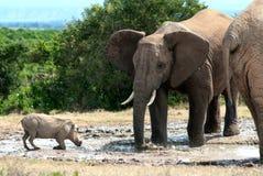 Elefante y warthog fotografía de archivo