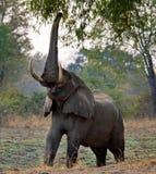 Elefanten äter de unga forsarna av trädet zambia Fäll ned den Zambezi nationalparken Royaltyfria Bilder