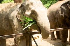 Elefanten äter gräs på zoo Royaltyfri Bild