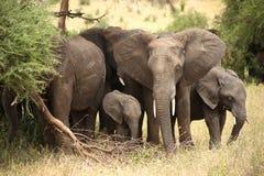 Elefanten 🠐 ˜ Familie in Nationalpark Tarangire stockbilder