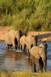 Elefanten Stockfotografie
