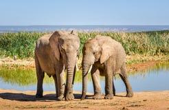Elefanten, Addo-Elefanten Park, Südafrika Lizenzfreies Stockbild