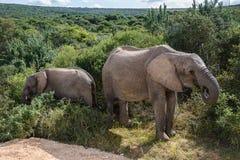 Elefanten in Addo Elephant National Park, Südafrika Lizenzfreies Stockbild