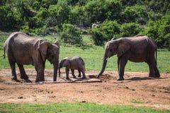 Elefanten in Addo Elephant National Park, Südafrika Stockfotografie