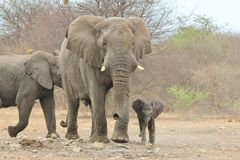 Elefanten afrikanen - djurlivbakgrund från Afrika - behandla som ett barn djur som uthärdas nyligen Royaltyfri Foto