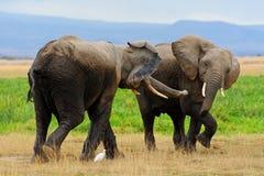 Elefanten in Amboseli NP, Kenia. lizenzfreie stockbilder