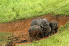 Elefanten Asien Lizenzfreies Stockbild
