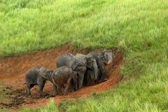 Elefanten Asien Lizenzfreie Stockbilder