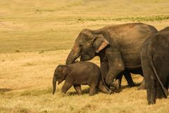 Elefanten behandla som ett barn med fostrar Royaltyfri Foto