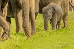 Elefanten behandla som ett barn med vakten Arkivbilder