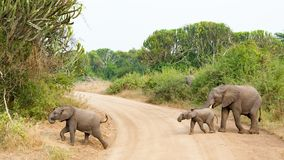 Elefanten behandla som ett barn väglett av modern, medan korsa en bana i den härliga drottningen Elizabeth National Park, Uganda