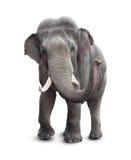 Elefanten beklär beskådar med den snabba banan Royaltyfria Bilder