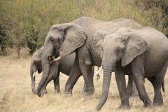 Elefanten in Bewegung Lizenzfreies Stockfoto