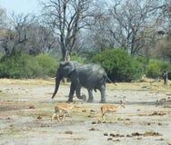 Elefanten in Botswana Afrika lizenzfreies stockbild