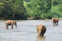 Elefanten in Ceylon stockbilder