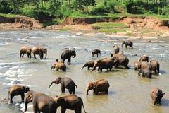 Elefanten in Ceylon lizenzfreie stockfotos
