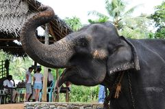 Elefanten in Ceylon stockfotografie