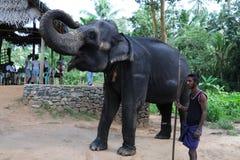 Elefanten in Ceylon stockfotos