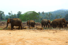 Elefanten in der Elefantkindertagesstätte, Sri Lanka, Kandy Stockfotografie