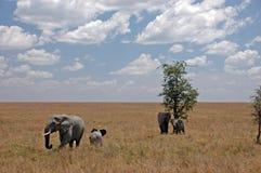 Elefanten in der Savanne lizenzfreie stockbilder