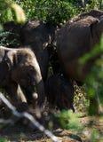 Elefanten des Pinnawala-Elefantwaisenhauses, das im Fluss badet Stockbilder