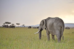Elefanten, die in der Dämmerung weiden lassen Lizenzfreie Stockfotografie