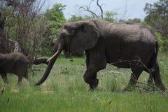 Elefanten, die in die Savanne gehen Lizenzfreie Stockfotos