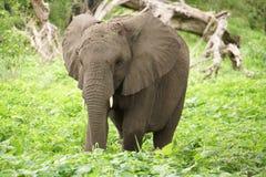 Elefanten, die in die Savanne gehen Stockfoto
