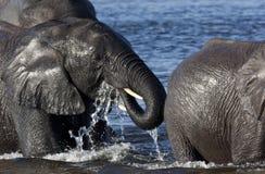 Elefanten, die einen Fluss in Botswana kreuzen Stockfotografie