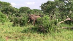 Elefanten, die in grünen Bush stehen stock video