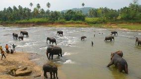 Elefanten, die im Fluss baden stock video