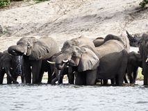 Elefanten, die im Fluss trinken Stockfotografie