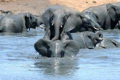Elefanten, die im schlammigen Wasser spielen Stockfoto