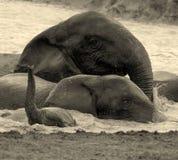 Elefanten, die Spaßschwimmen haben Stockbild