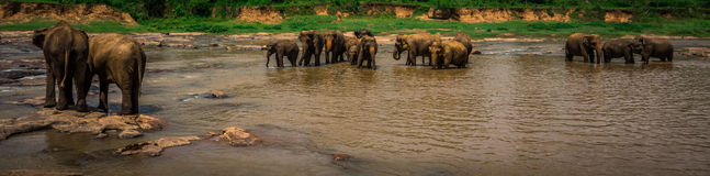 Elefanten, die in Sri Lanka baden Stockfoto