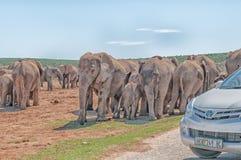 Elefanten, die warten, um die Straße zu kreuzen blockiert durch touristische Autos Lizenzfreie Stockfotos