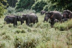 Elefanten in einem Nationalpark von Sri Lanka Stockfoto