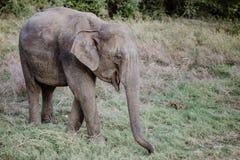 Elefanten in einem Nationalpark von Sri Lanka Stockbilder