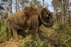 Elefanten får smutsig Royaltyfria Bilder
