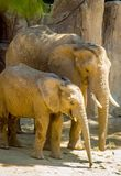 Elefanten fostrar och behandla som ett barn Arkivbilder