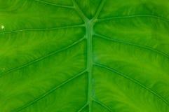 Elefanten gå i ax leafen Arkivbilder