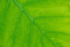 Elefanten gå i ax leafen Arkivfoto