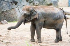 Elefanten i elefant i zoo, beklär upp vänster fot och att gå omkring fotografering för bildbyråer