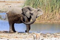 Elefanten i Etosha parkerar Namibia Fotografering för Bildbyråer