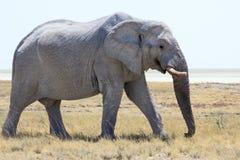 Elefanten i Etosha parkerar Namibia Royaltyfri Foto