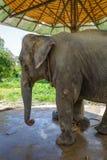 Elefanten, i skyddat, parkerar, Chiang Mai, Thailand royaltyfria bilder